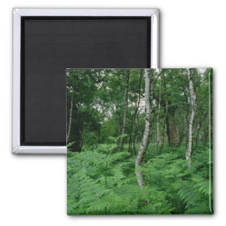 Silver birch trees and ferns, Sherwood Forest Magnet