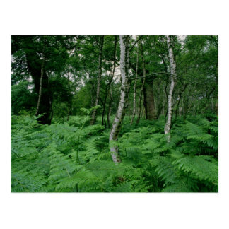 Silver birch trees and ferns, Sherwood Forest Postcard