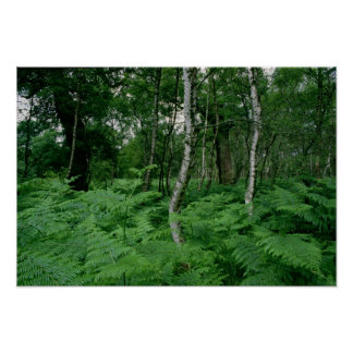 Silver birch trees and ferns, Sherwood Forest Poster