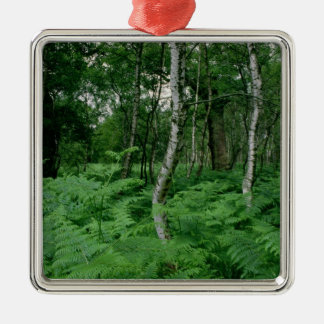 Silver birch trees and ferns, Sherwood Forest Silver-Colored Square Decoration