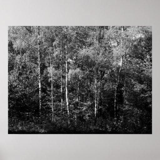 Silver Birch Trees - B&W Poster