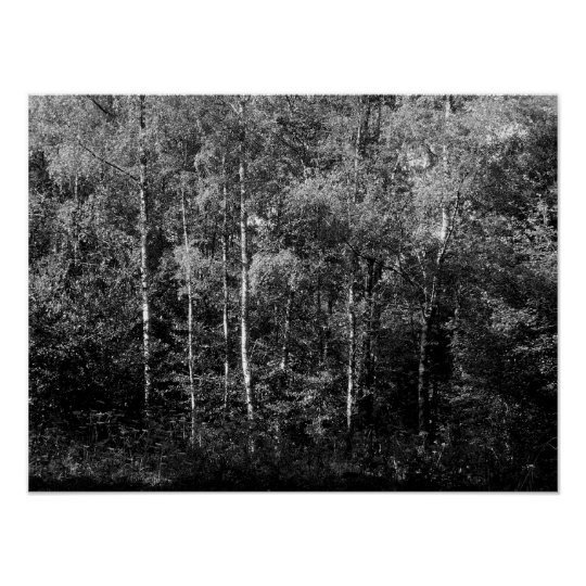 Silver Birch Trees - B&W Poster