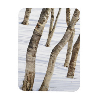 Silver Birch Trees in snowy landscape Magnet