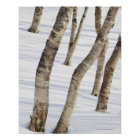 Silver Birch Trees in snowy landscape Poster
