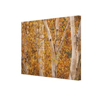 Silver Birches Canvas Print