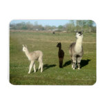 Silver grey alpaca vinyl magnet
