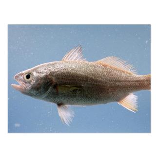 Silver Perch Fish Postcard