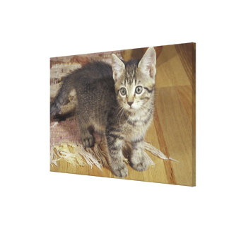 Silver tabby kitten, eight weeks old stretched canvas prints