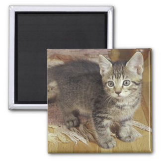 Silver tabby kitten, eight weeks old square magnet