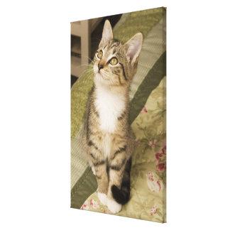 Silver tabby on bedspread canvas prints