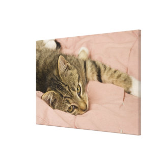 Silver tabby stretched out on bedspread canvas print