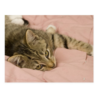 Silver tabby stretched out on bedspread postcard