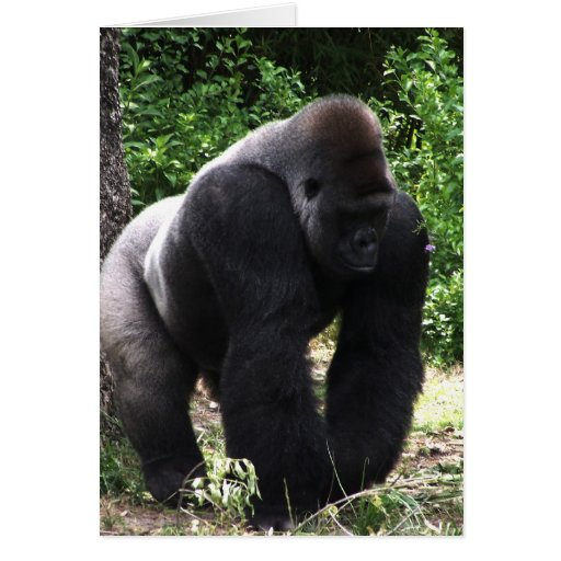 Silverback Male Gorilla walking head down.jpg Card