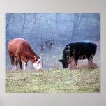 Simmentals Cows Grazing Art Print Poster