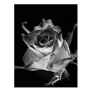 Simple Mono Rose Postcard