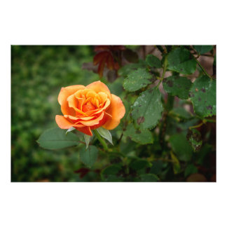 Singing in the Rain Rose Photograph