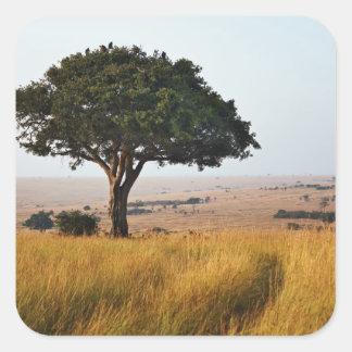 Single acacia tree on grassy plains, Masai Mara, Square Sticker
