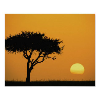 Single Acacia tree silhouetted at sunrise, Masai Poster