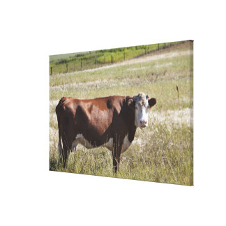 Single Cow In A Field Canvas Print