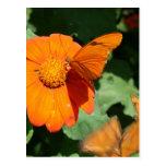 Single orange butterfly on a single orange flower post cards