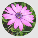 Single Pink African Daisy Against Green Foliage