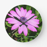 Single Pink African Daisy Against Green Foliage Clock