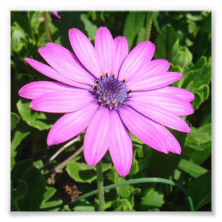 Single Pink African Daisy Against Green Foliage Photo Print