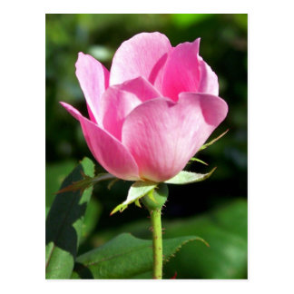 Single Pink Rose All Occasion Postcard