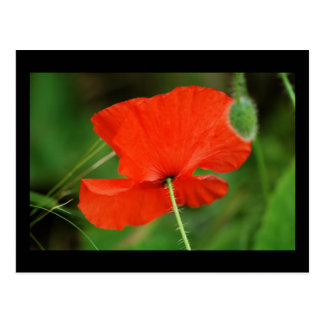 Single Poppy with border Post Cards