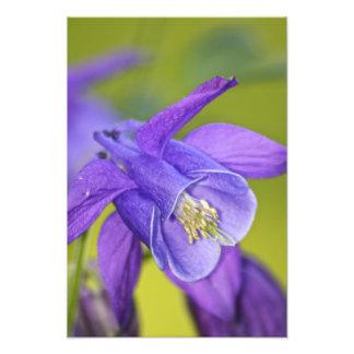 Single Purple Columbine Flower Art Photo