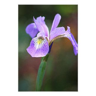 Single Purple Iris Art Photo