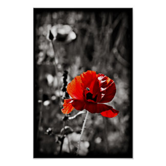 Single Red Poppy papaver rhoeas and hoverfly Print