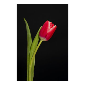 Single red tulip on black background poster
