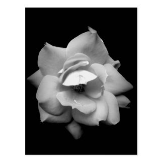 Single Rose in Black and White Postcard