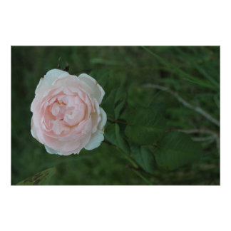 Single Rose in Bloom Poster
