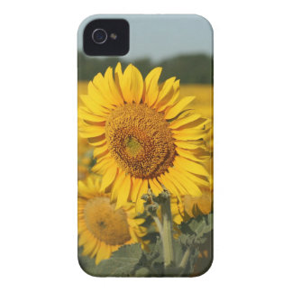 Single Sunflower in a Field of Sunflowers iPhone 4 Cover