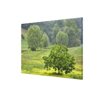 Single tree in agricultural farm field, Tuscany, 2 Canvas Print