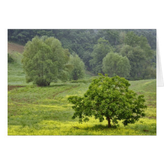 Single tree in agricultural farm field, Tuscany, 2 Card