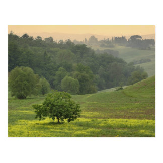 Single tree in agricultural farm field, Tuscany, Postcard
