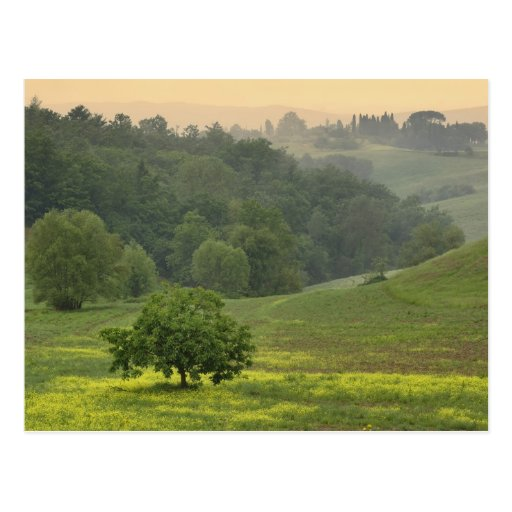 Single tree in agricultural farm field, Tuscany, Post Card