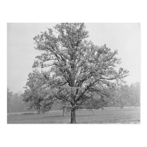 Single tree in field B&W Post Card