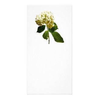 Single White Hydrangea Photo Cards