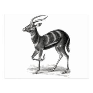 Sitatunga or Marshbuck Postcard