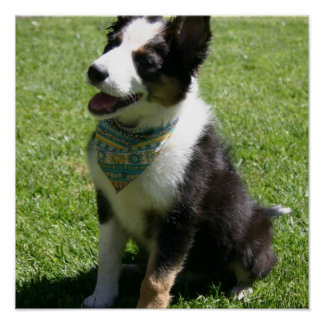 Sitting Border Collie Poster