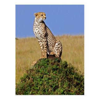 Sitting Cheetah Postcard