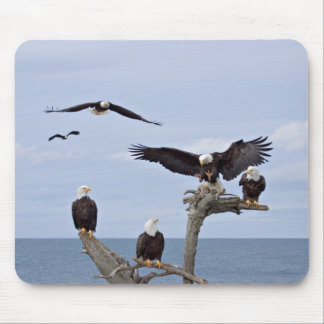 Six Bald Eagles (Haliaeetus leucocephalus) Mouse Mat