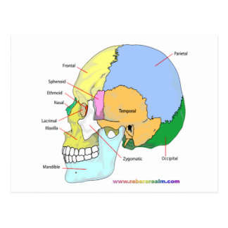 Skull lateral post card