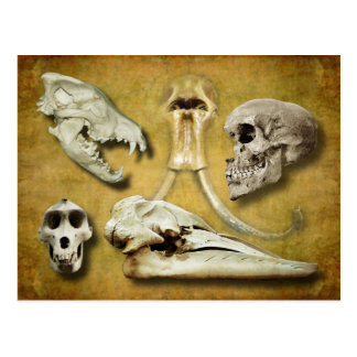 Skulls - wolf, mammoth, human, baboon,  whale postcard