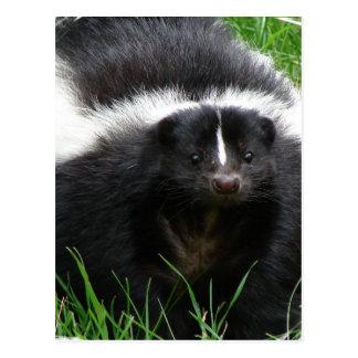 Skunk Photo Postcard