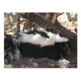 Skunk Postcard